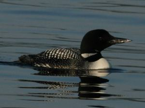 Common_Loon_RWD2