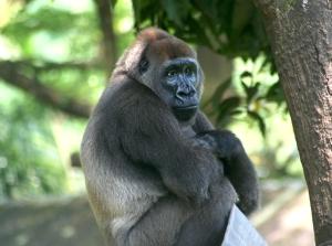 Cross-River-Gorilla-Gorilla-gorilla-diehli)